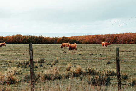 Brown cows eating in valley near in winter season