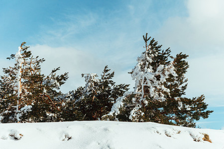 Snow covered pines trees on the mountain with blue sky
