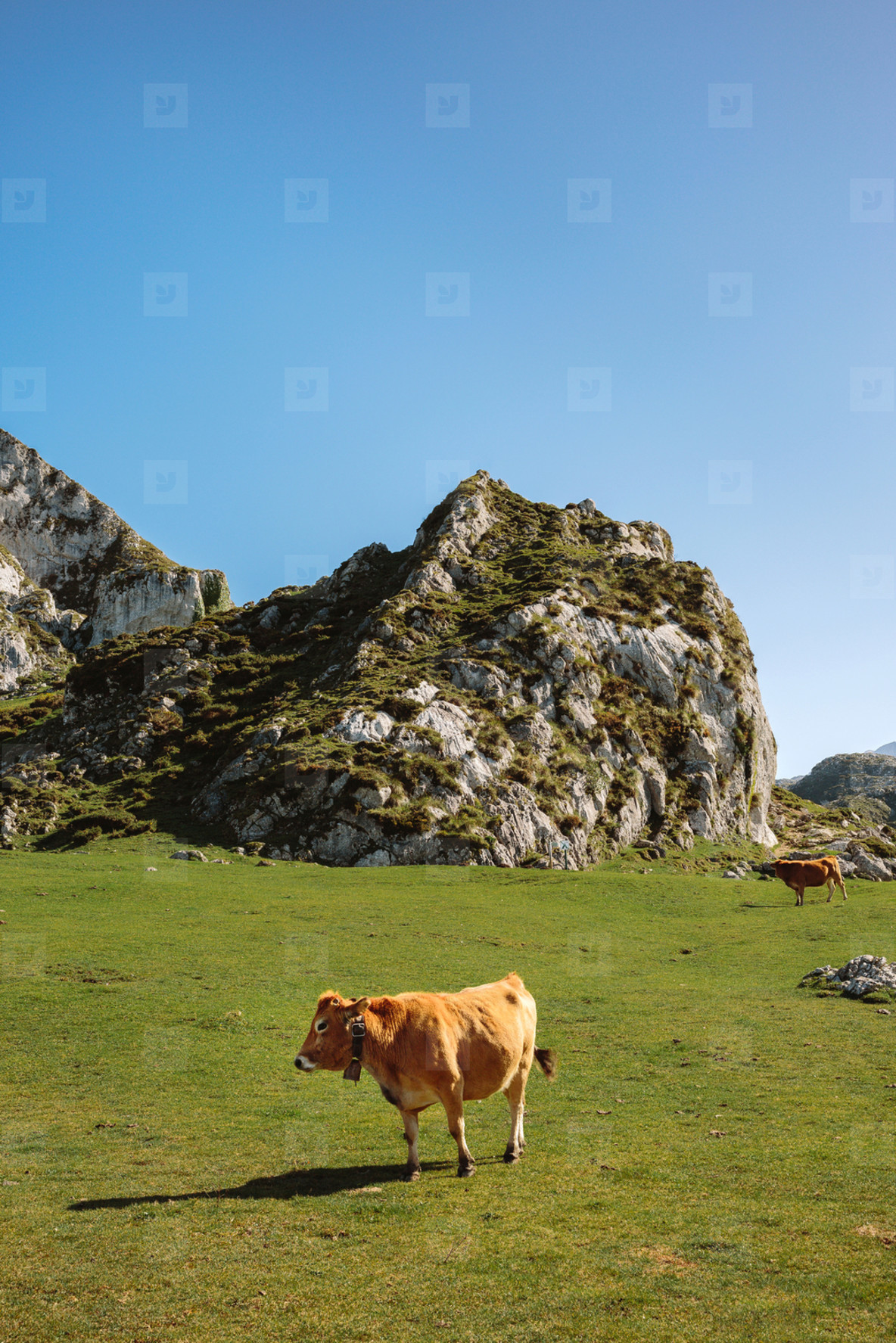 Cow walking through the grass