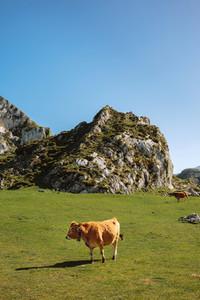 Cow walking through the grass