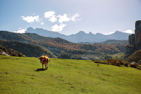 Cow on the grass in the mountains