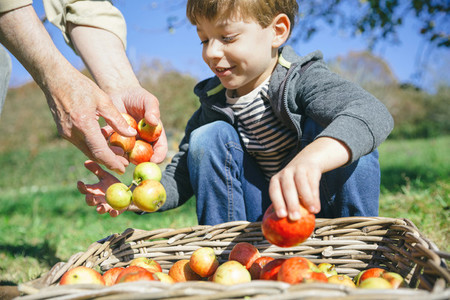 Kid and senior man hands putting apples in basket