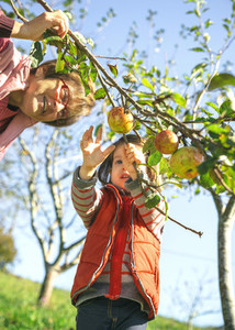 Little girl picking apples from tree with senior woman