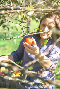 Woman hand picking red apple from the tree