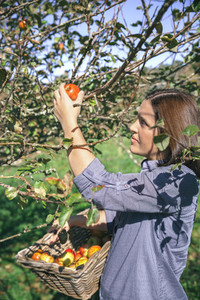 Woman picking apples with basket in her hands