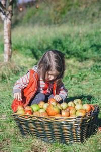Little girl looking apples in basket with harvest