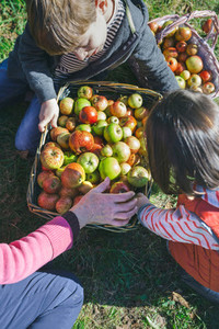 Children and senior woman putting apples inside of baskets