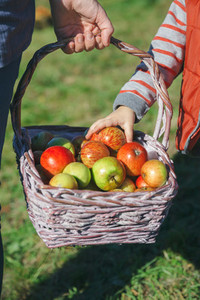 Little girl hand picking a fresh organic apple from wicker basket