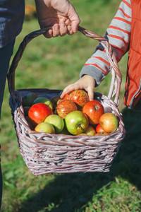 Little girl hand picking a fresh organic apple from wicker basket