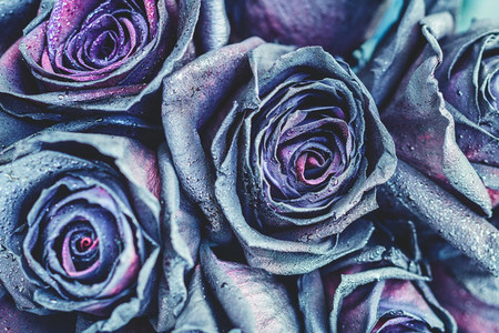 Macro photography of purple   neon roses with raindrops Fantasy and magic concept Selective focus