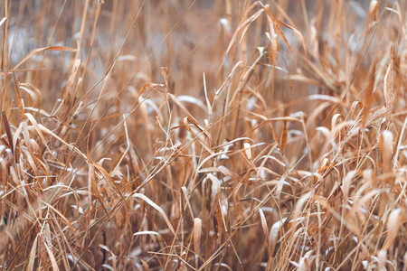 Thickets of reeds in winter
