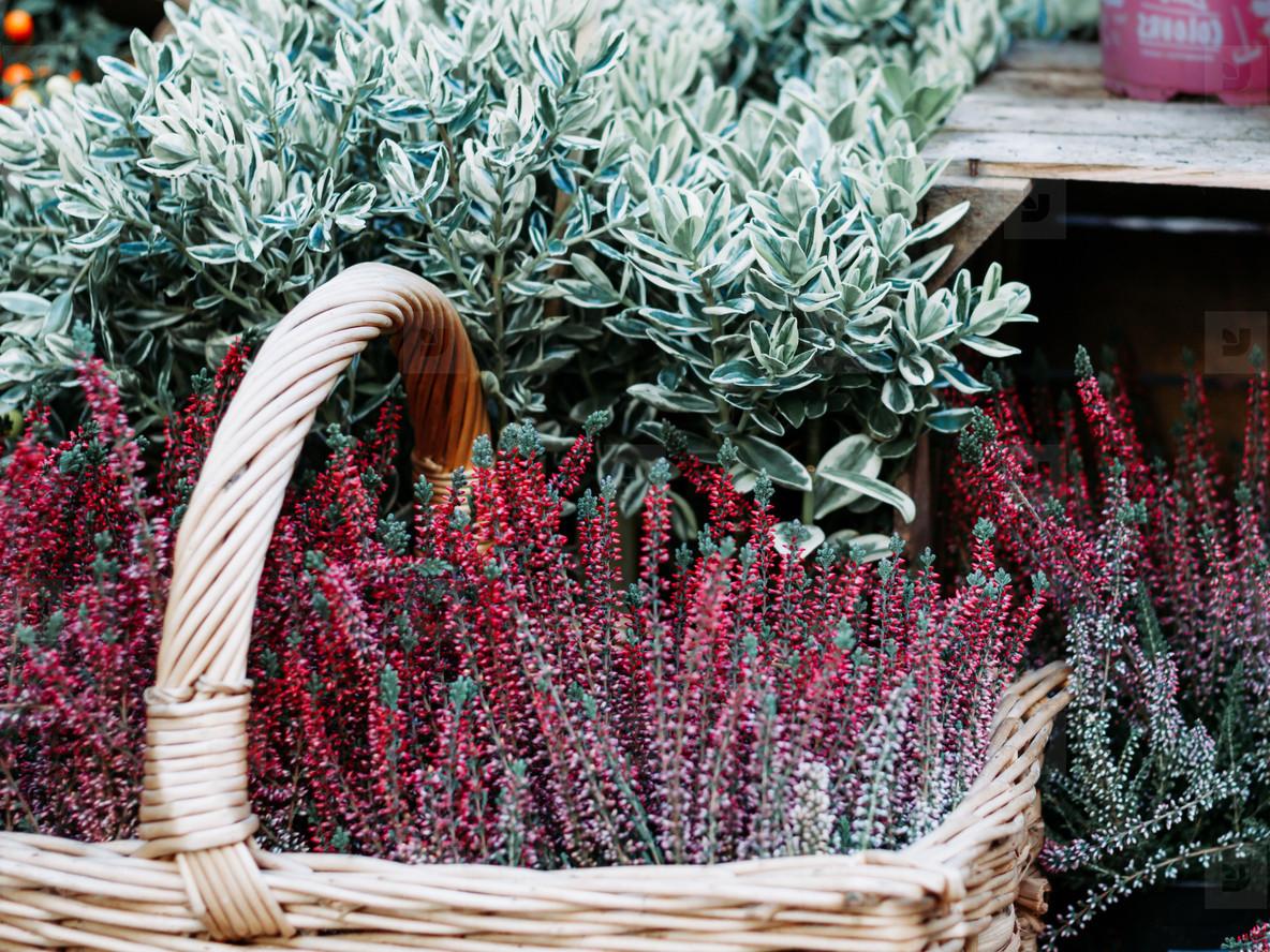 Photos Heather In A Basket Near A Flower Shop Beautiful Spring