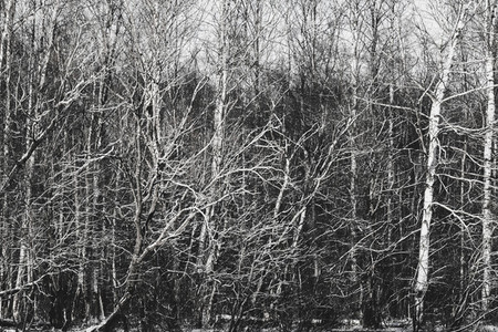 Branches of trees in winter forest Black and white photo