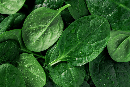 Macro photography of fresh spinach Concept of organic food