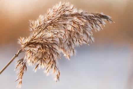 Macro shot of dry bulrush
