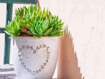Plant from the genus of cacti in a white flower pot with a pattern in the form of a heart