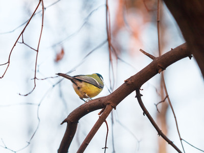 Yellow tit is sitting on a trees branch in a winter forest  View from back