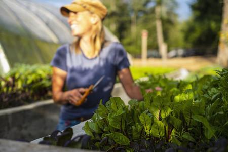 Happy female farmer harvesting fresh red dandelion greens