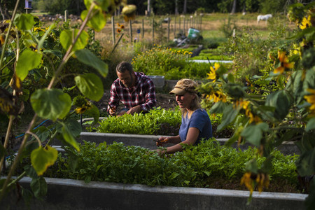 Farmers tending to vegetable garden