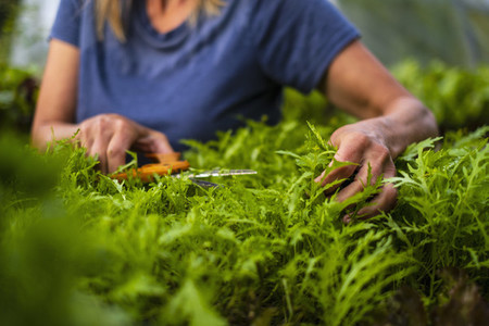 Close up woman trimming vegetable plant