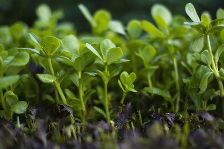 Close up vibrant green seedling purslane plant