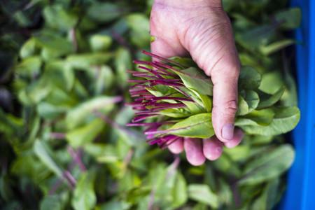 Hand holding fresh harvested red dandelion greens
