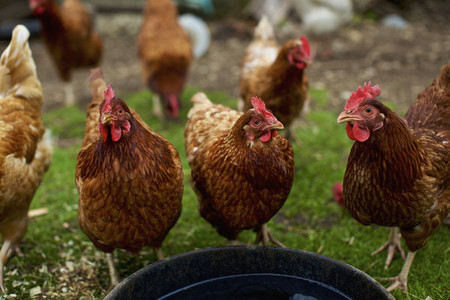 Portrait free range hens