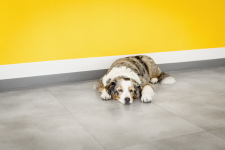 Tired dog sleeping by yellow wall