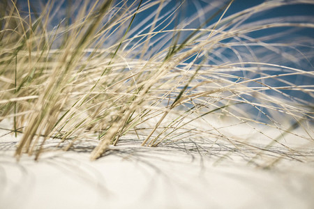 Close up beach grass growing in sunny sand dune