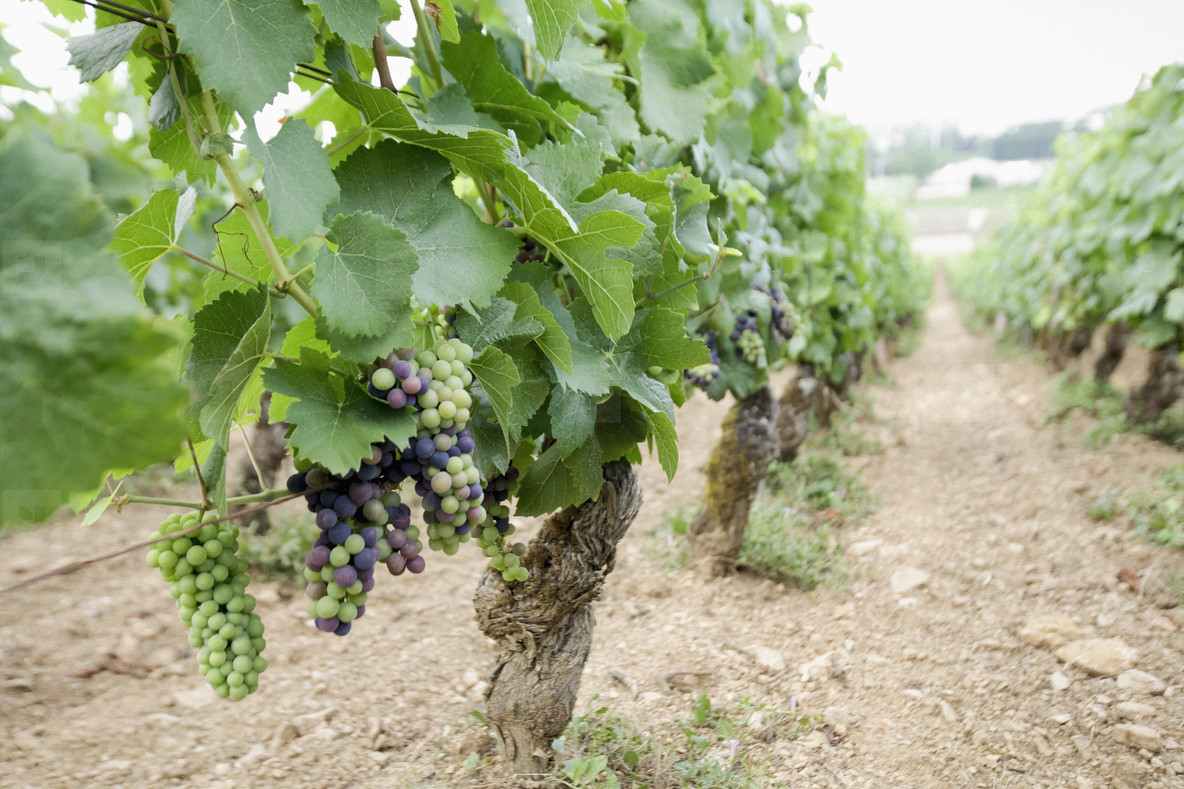 Wine grapes growing on vines in vineyard  France
