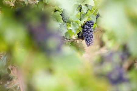 Wine grapes growing in vineyard