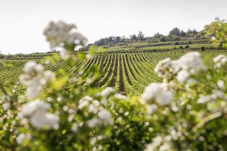 Idyllic  sunny vineyard landscape  France