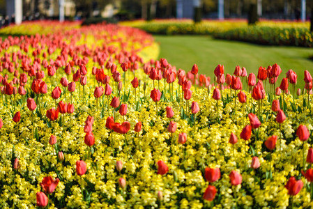 Red tulips near Buckingham Palace in London