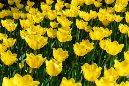 Full frame yellow tulips spring background  The concept of bloom and Spring