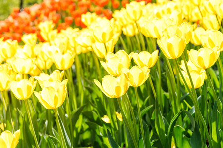 Full frame yellow tulips spring background  The concept of bloom anf Spring