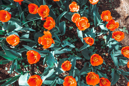 Top down view coral or orange tulips spring background  The concept of bloom and Srping