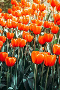 Full frame of red tulips spring background The concept of bloom and Srping