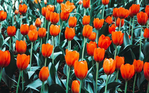 Full frame of coral or orange tulips spring background The concept of bloom and Srping