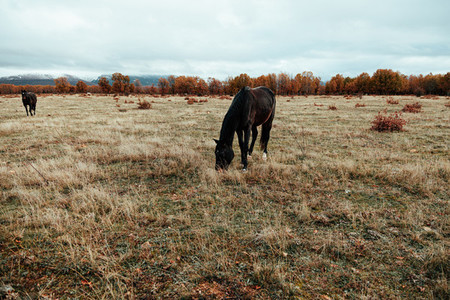 Wild horses in a grassland near a forest an mountains