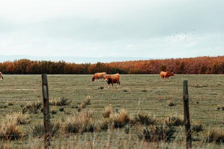 Brown cows eating in valley near in winter season