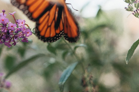Monarch Flying Free