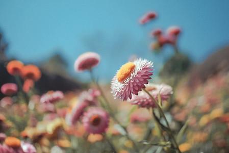 Beautiful straw flowers