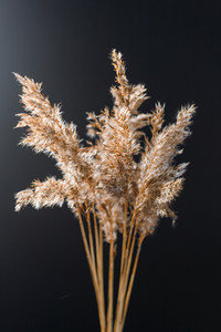 Dried grass for creating interior design decoration against black wall