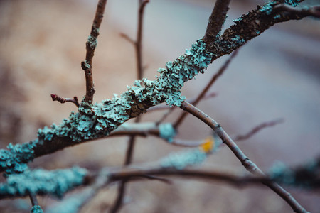 Tree branch with blue lichen in spring forest
