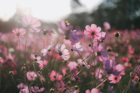 Pink cosmos flowers garden