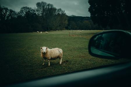 Friendly sheep