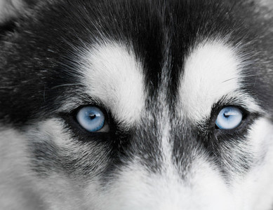 Portrait of beautiful Siberian Husky dog  Close up