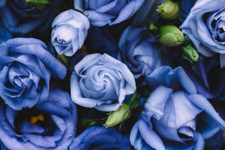 Beautiful blue roses background