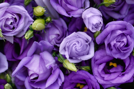 Beautiful purple roses background
