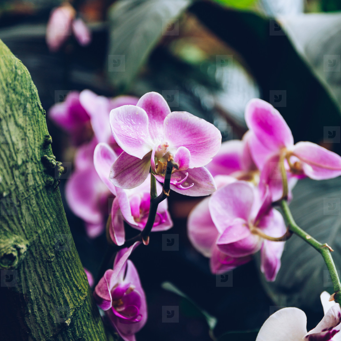 Macro photo of a pink orchid in a greenhouse